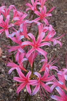 Lycoris x rosea 'Memphis Blues'