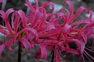 Lycoris x rosea 'Pink Frills'