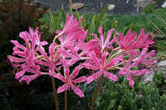 Lycoris x rosea 'Pink Ribbons'