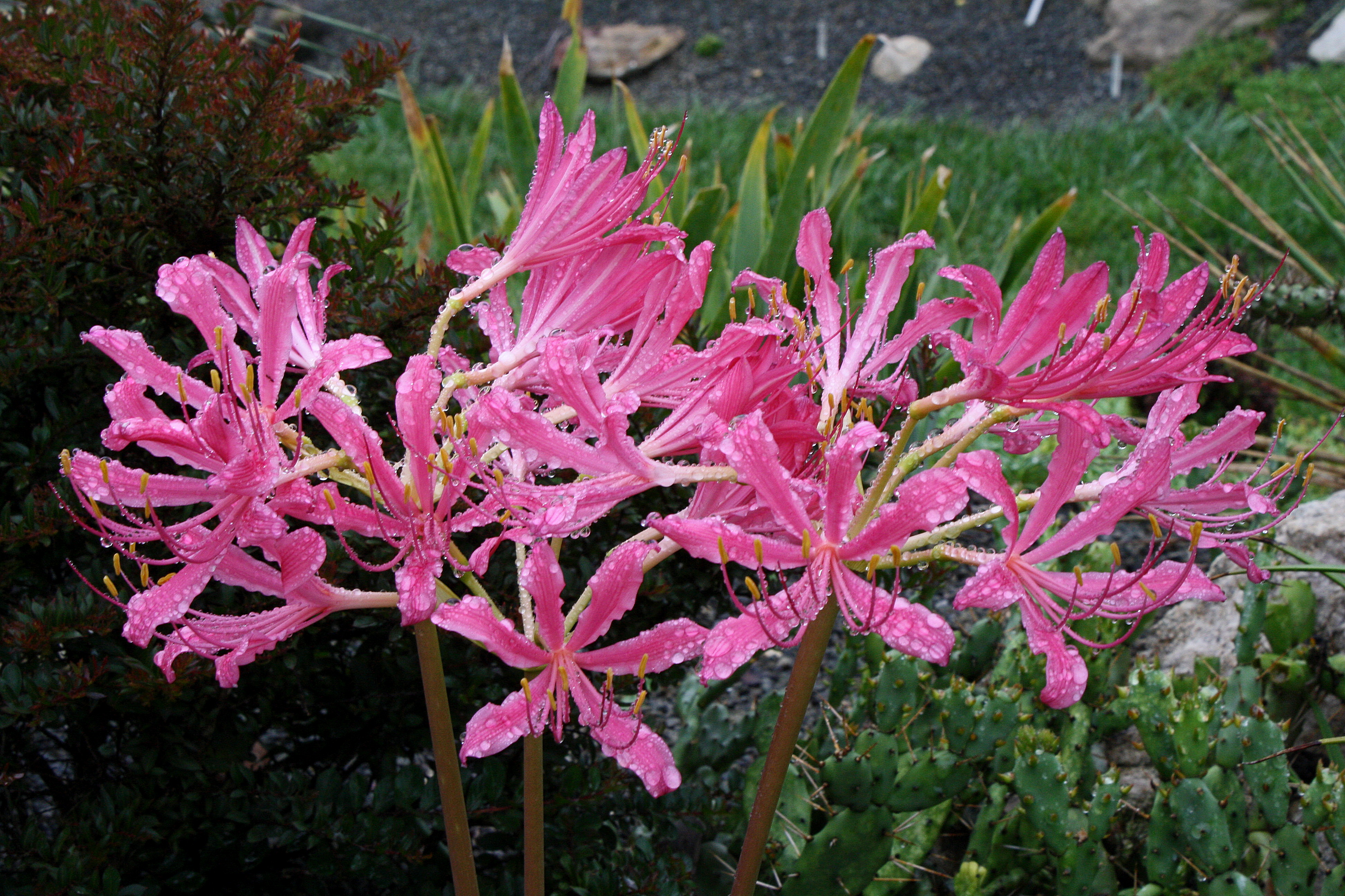 Lycoris x rosea 'Pink Ribbons' @ JLBG - a Jim Waddick import from China without a name, later assigned by JLBG/PDN