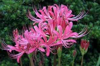 Lycoris x rosea 'Rose Queen'