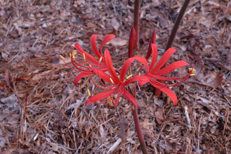 Lycoris x rosea 'Summer Screamer' @ JLBG - a Margot Williams/USDA hybrid (USDA 79-05) of Lycoris radiata var. pumila x sprengeri - named by JLBG/PDN