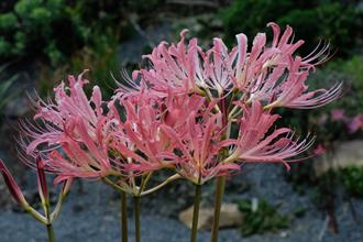 Lycoris x rosensis 'Three Towers Mirroring the Moon'