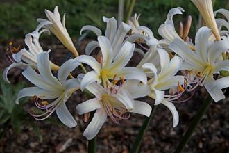Lycoris x sprengensis 'Creamsickle'