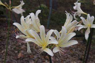 Lycoris x sprengensis 'Lemon Cheesecake'