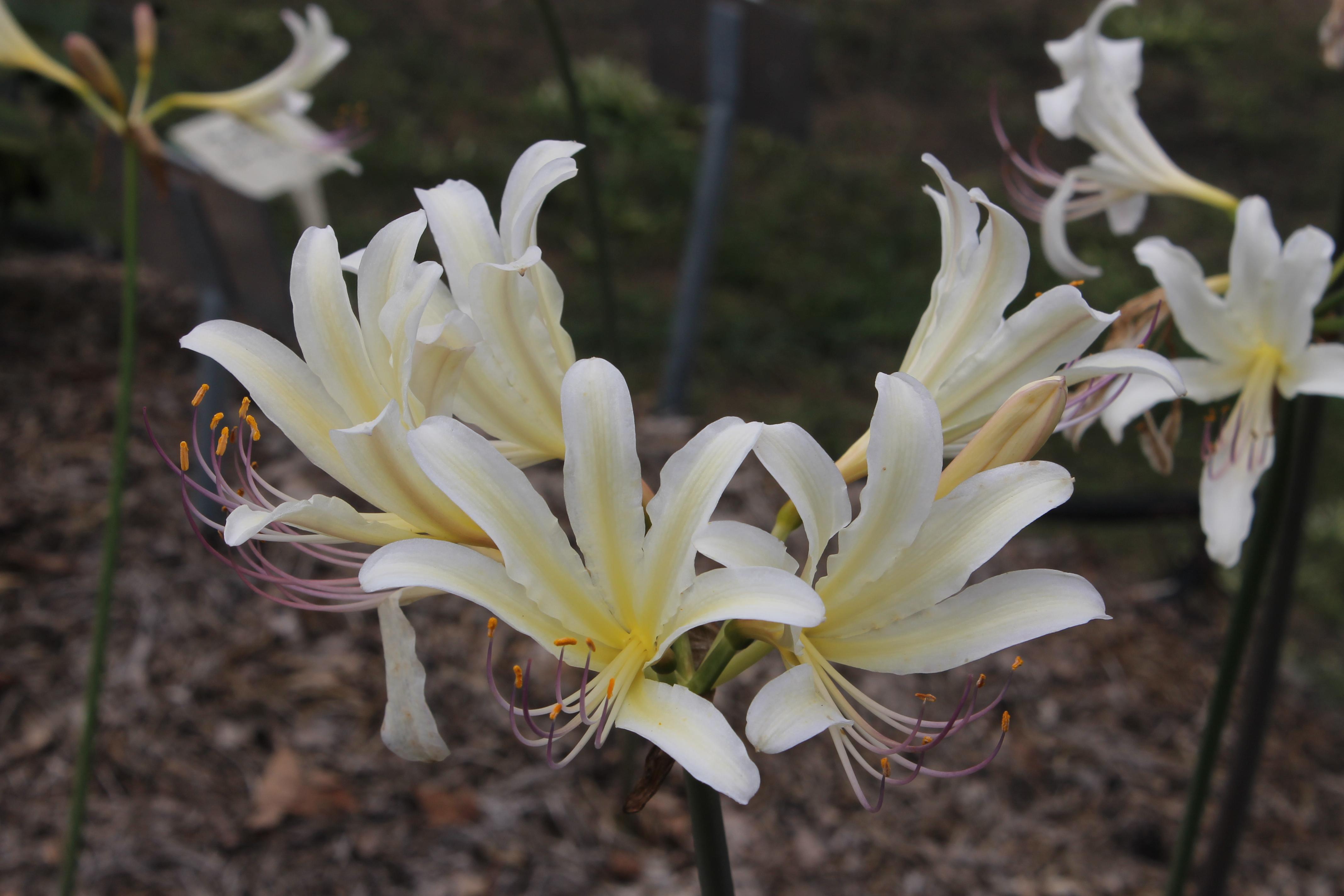 Lycoris x sprengensis 'Lemon Cheesecake' @ JLBG - (aka: Caldwell's Hay-sper) - A Sam Caldwell hybrid of Lycoris sprengeri 'Hayward' x Lycoris chinensis 'Sperryi'