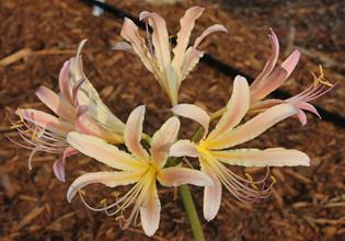 Lycoris x sprengensis 'Magic Rainbow'