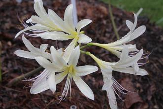 Lycoris x sprengensis 'Midsummer Cream'