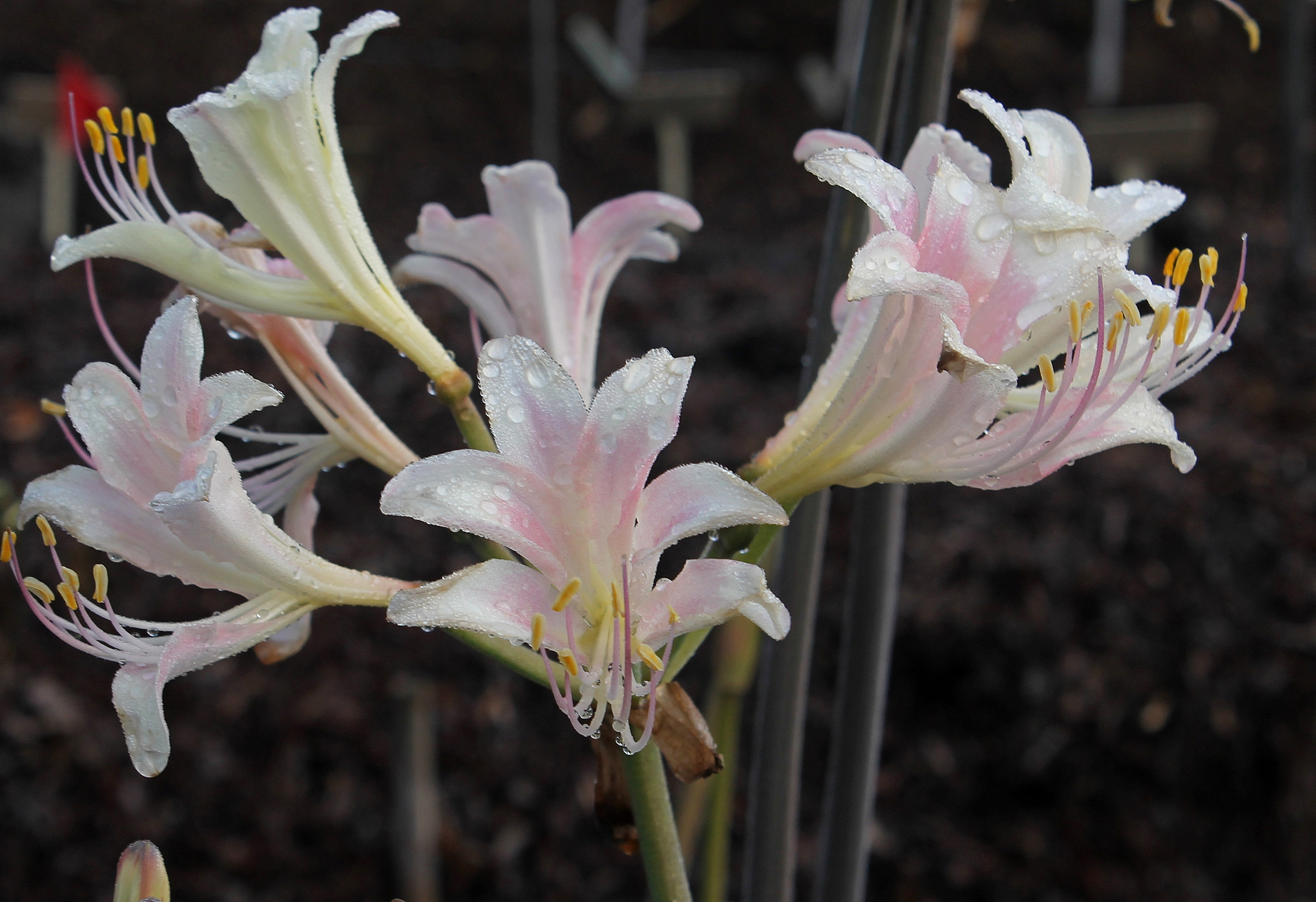 Lycoris x sprengensis 'September Cream Beauty' - a Komoriya Nursery introduction of a cross of Lycoris sprengeri x chinensis