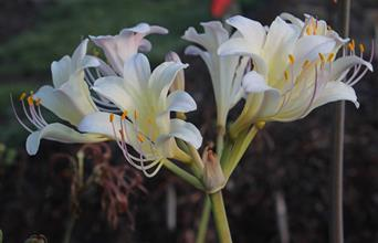Lycoris x sprengensis 'September Cream Beauty'