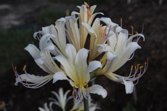 Lycoris x sprengensis 'Summer Leg Beauty'