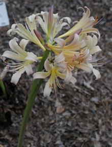 Lycoris x sprengensis 'Summer Rainbow'