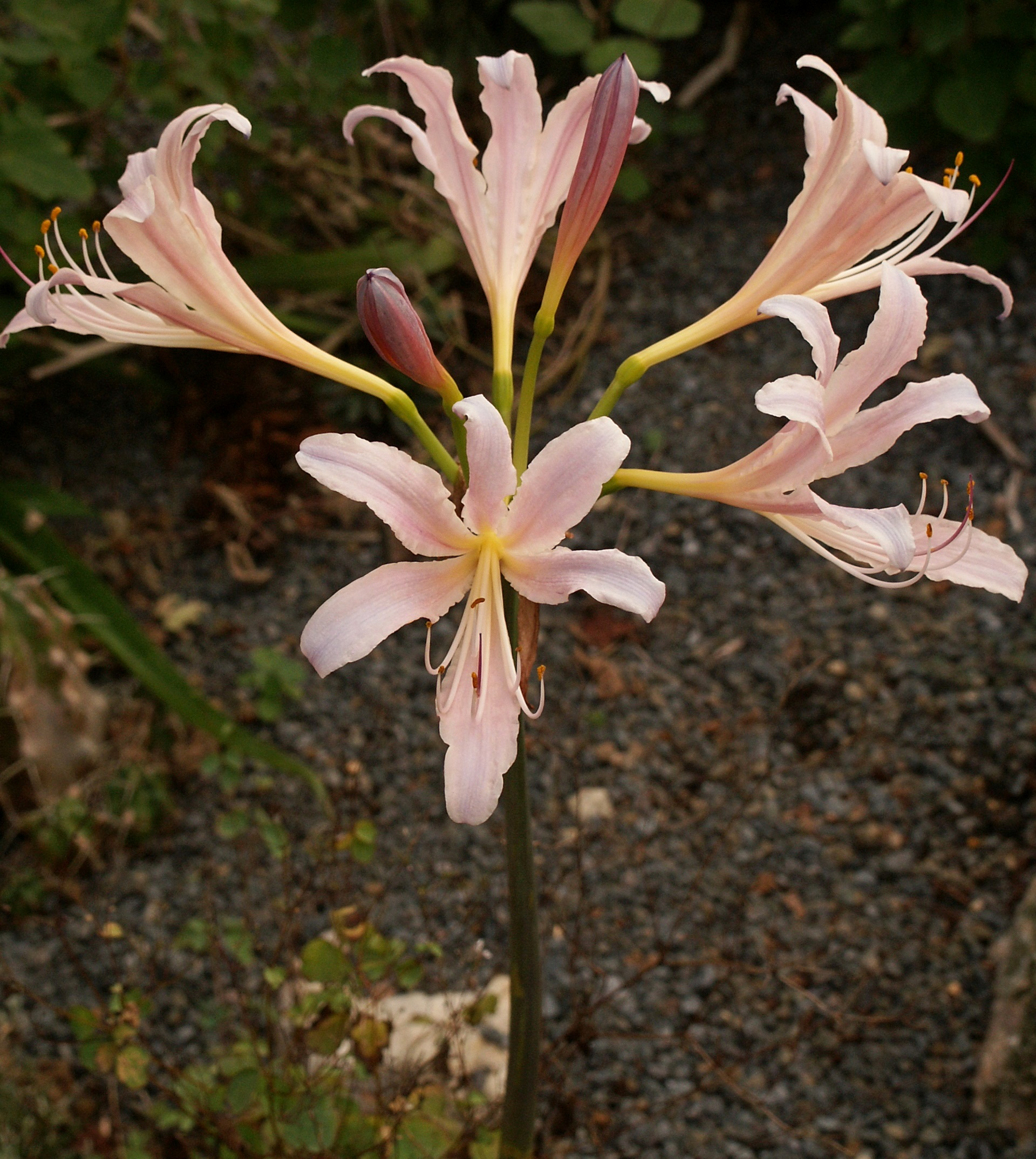 Lycoris x sprengensis 'Summer Sunrise' @ JLBG - a Phil Adams hybrid of Lycoris sprengeri x chinensis - named by JLBG/PDN