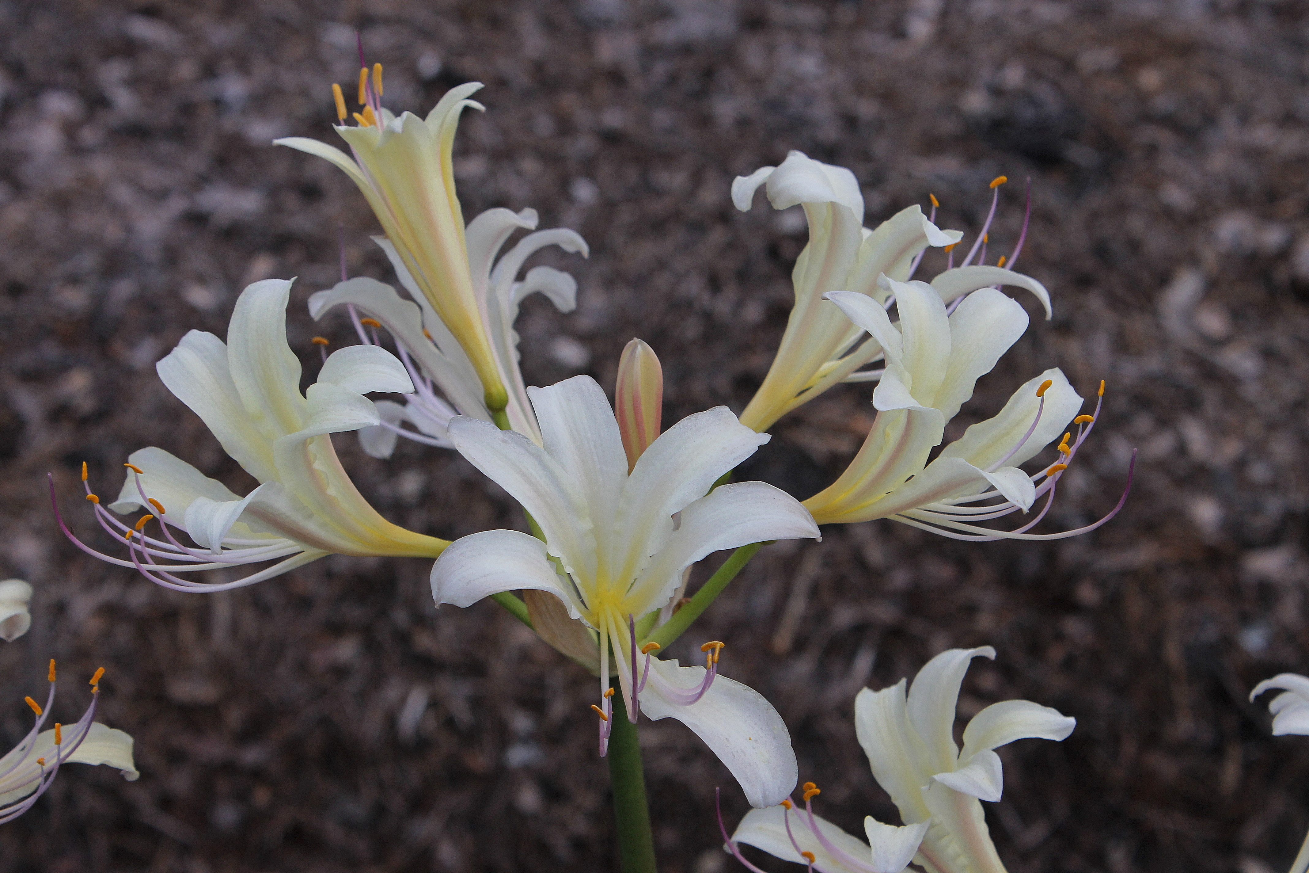 Lycoris x sprengensis 'Yuhbotaru' @ JLBG - a Komoriya Nursery introduction of a cross of Lycoris sprengeri x chinensis