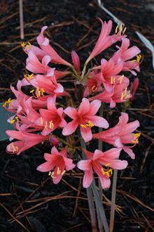 Lycoris x sprenguinea 'Momozono'