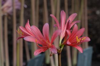 Lycoris x sprenguinea 'Phil Harmonic'