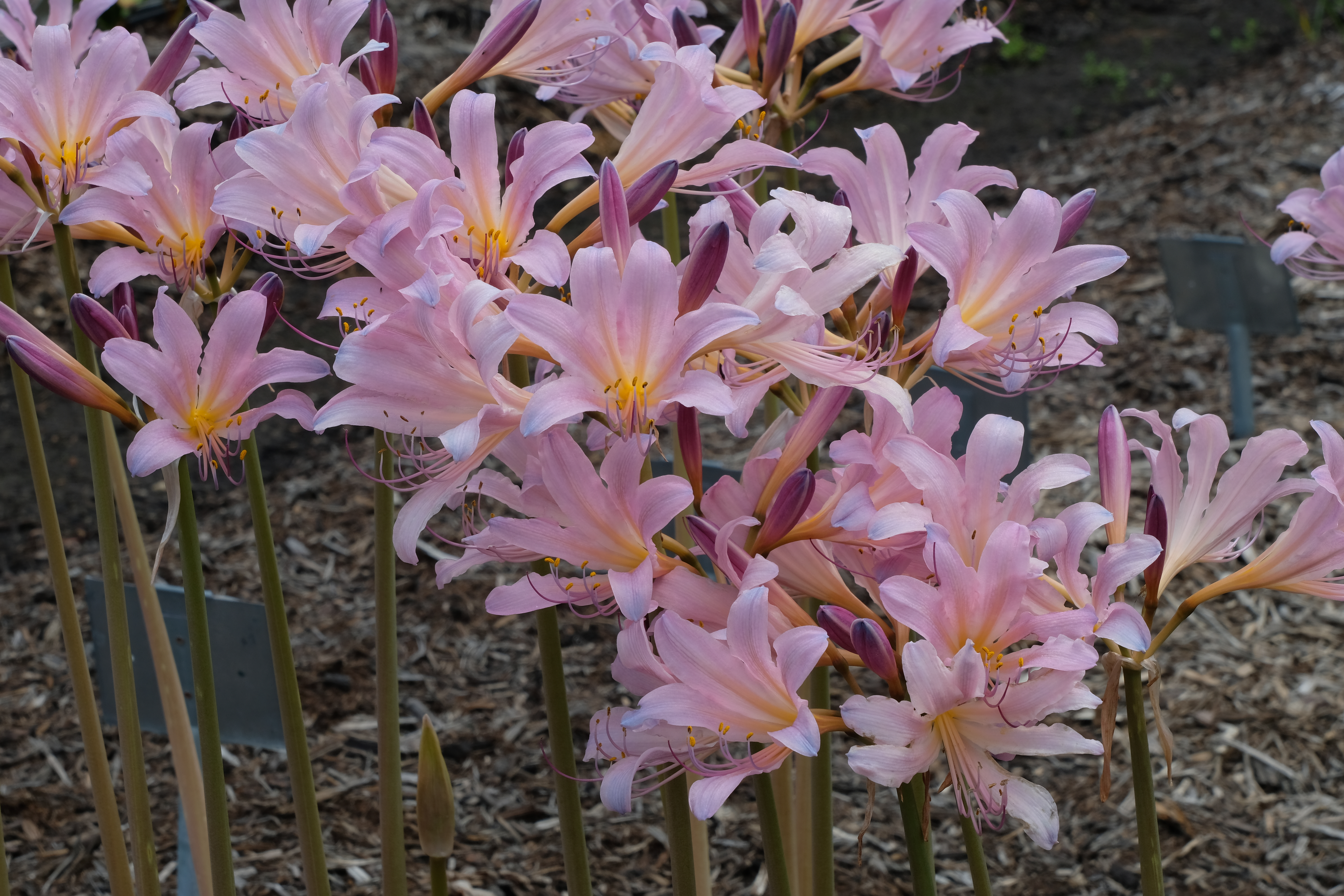 Lycoris x squamigera @ JLBG - a sterile hybrid of Lycoris sprengeri x longituba - same cross as Lycoris x incarnata, but despite being published earlier, we propose conserving the name as Lycoris 'Squamigera' for this widespread clone