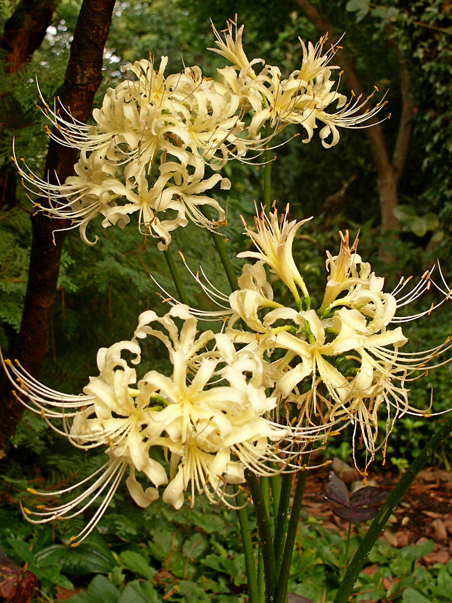 Lycoris x straminea 'Buttermint' @ JLBG - a form originally obtained from China via Jim Waddick, and named by PDN in 2011