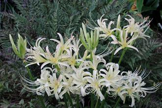 Lycoris x straminea 'Buttermint'