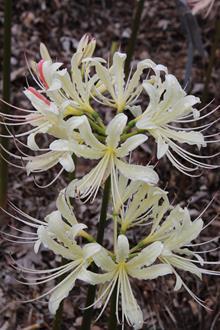Lycoris x straminea 'Caldwell's Original'