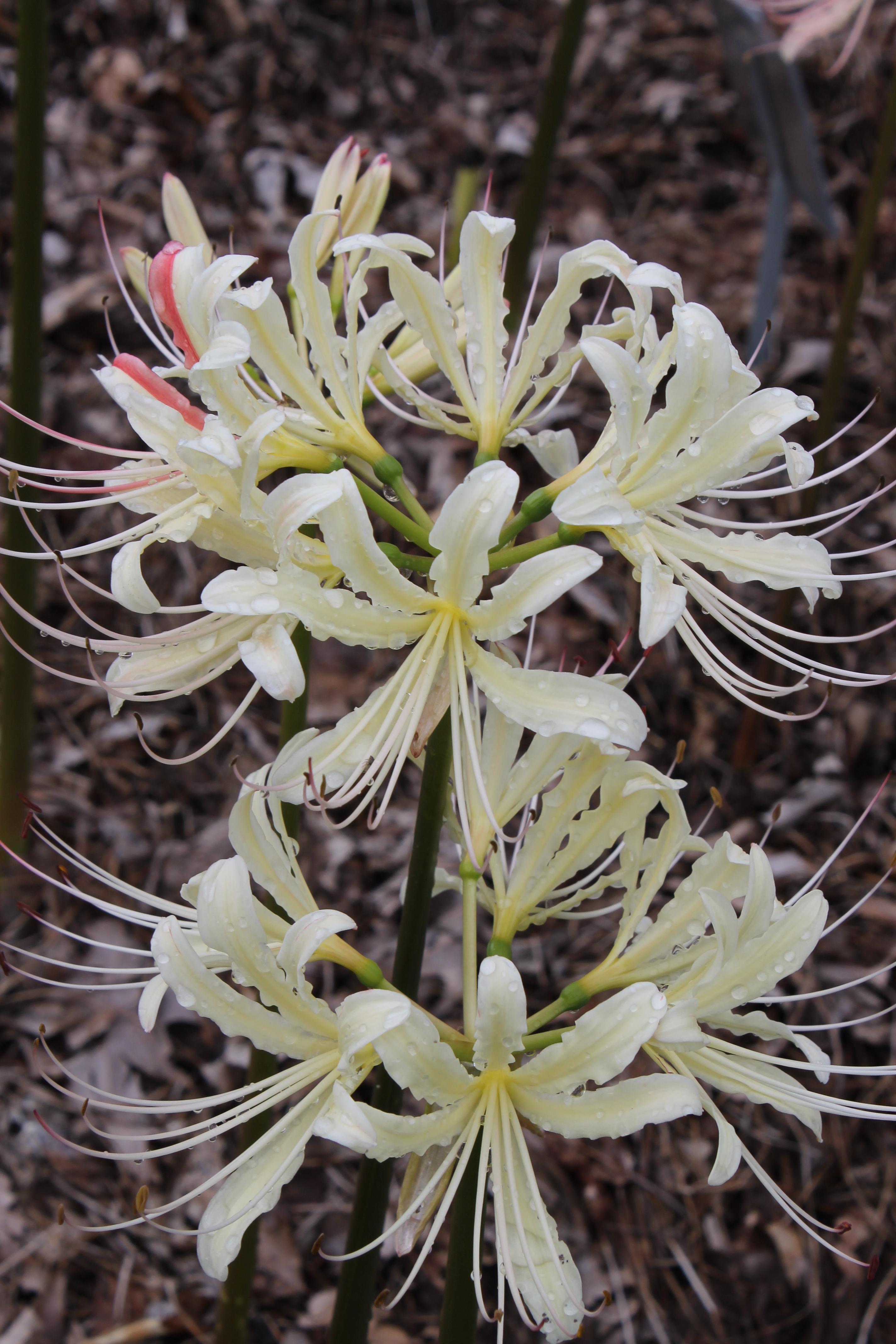 Lycoris x straminea 'Caldwell's Original' @ JLBG - Sam Caldwell's original clone of the hybrid of Lycoris radiata var. pumila x chinensis