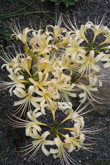 Lycoris x straminea 'Candlelight'