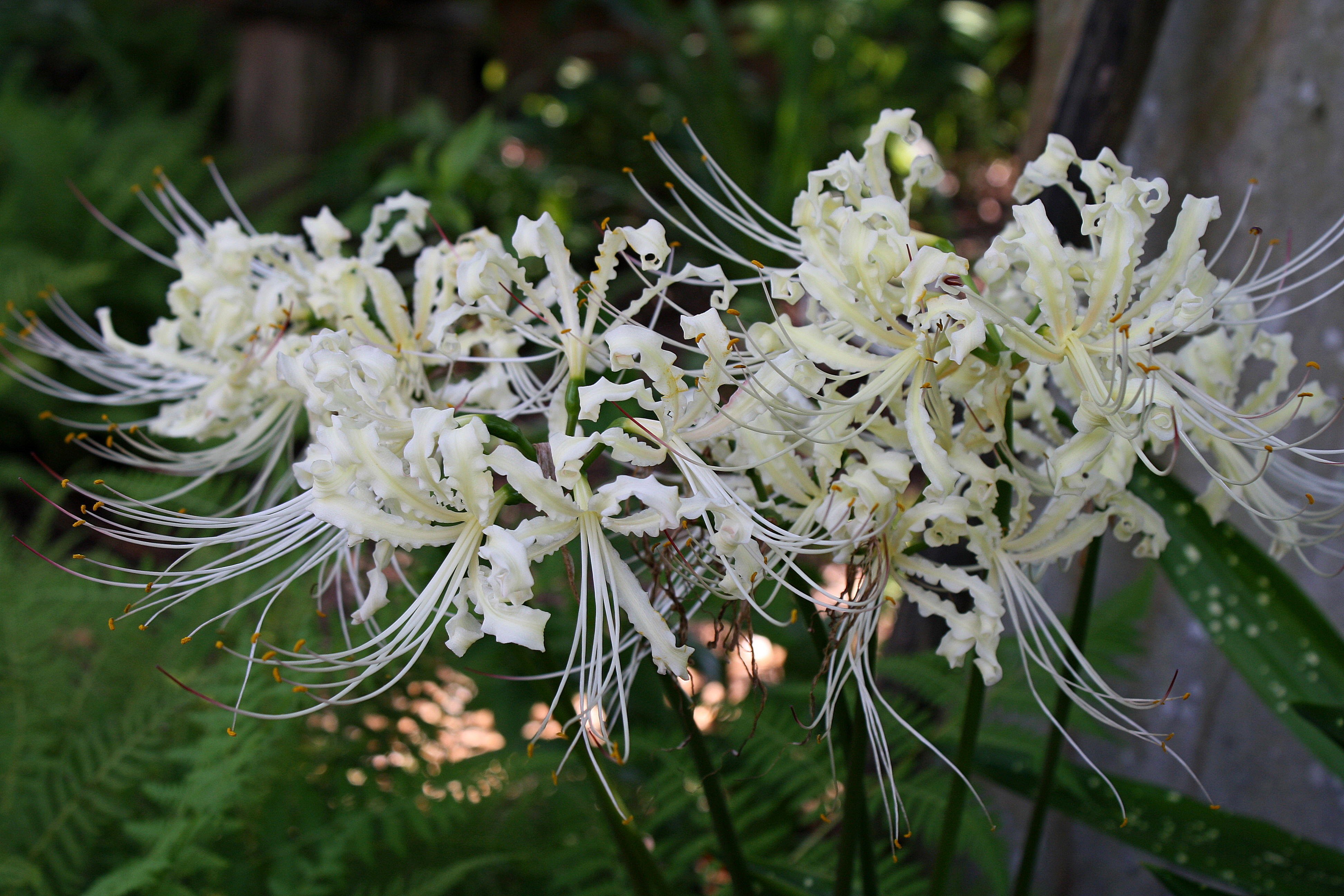Lycoris x straminea 'Cream Frilling' @ JLBG - a PDN/JLBG selection from a Chinese Nursery bulb import - flower color at maturity