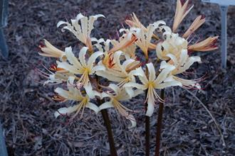 Lycoris x straminea Dees Yellow