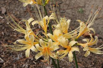 Lycoris x straminea 'Fawn'