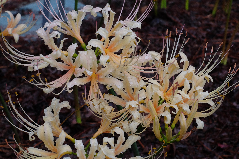 Lycoris x straminea 'Fawn' @ JLBG - a Sam Caldwell introduction of a cross of Lycoris radiata var. pumila x chinensis