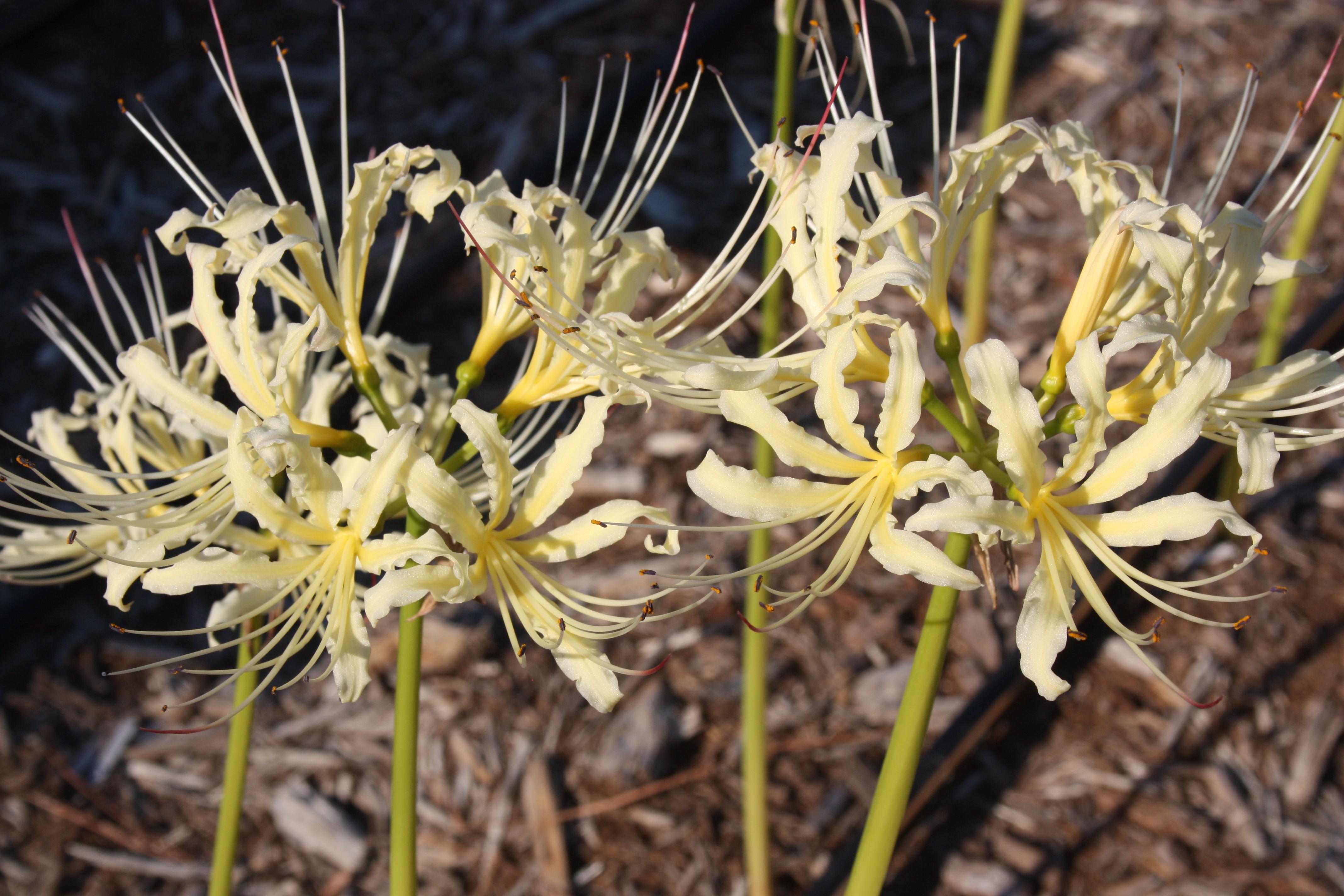 Lycoris x straminea 'Golden Panda' @ JLBG - a selection from a Chinese nursery as Lycoris shaanxiensis, but was instead the fall flowering hybrid of Lycoris radiata var. pumila x chinensis