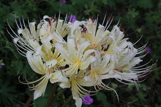 Lycoris x straminea 'John Creech'