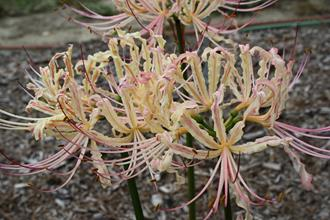 Lycoris x straminea 'Melcher's Crinkly Tricolor'