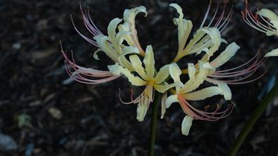 Lycoris x straminea 'Mellow Yellow'