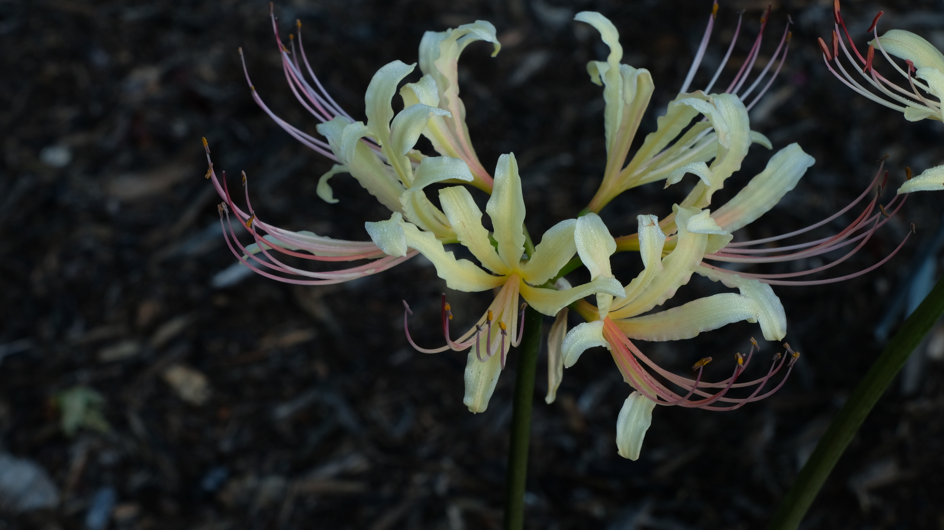 Lycoris x straminea 'Mellow Yellow' @ JLBG (aka: Adams #56)