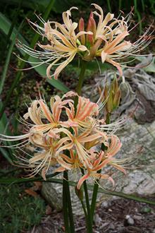 Lycoris x straminea 'Peach Chiffon'
