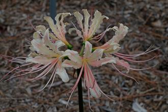 Lycoris x straminea 'Peach Swirl'