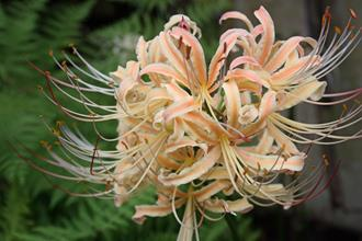 Lycoris x straminea 'Peach Taffy'
