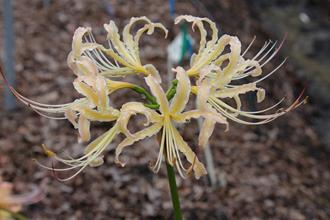 Lycoris x straminea 'Peaches and Cream'