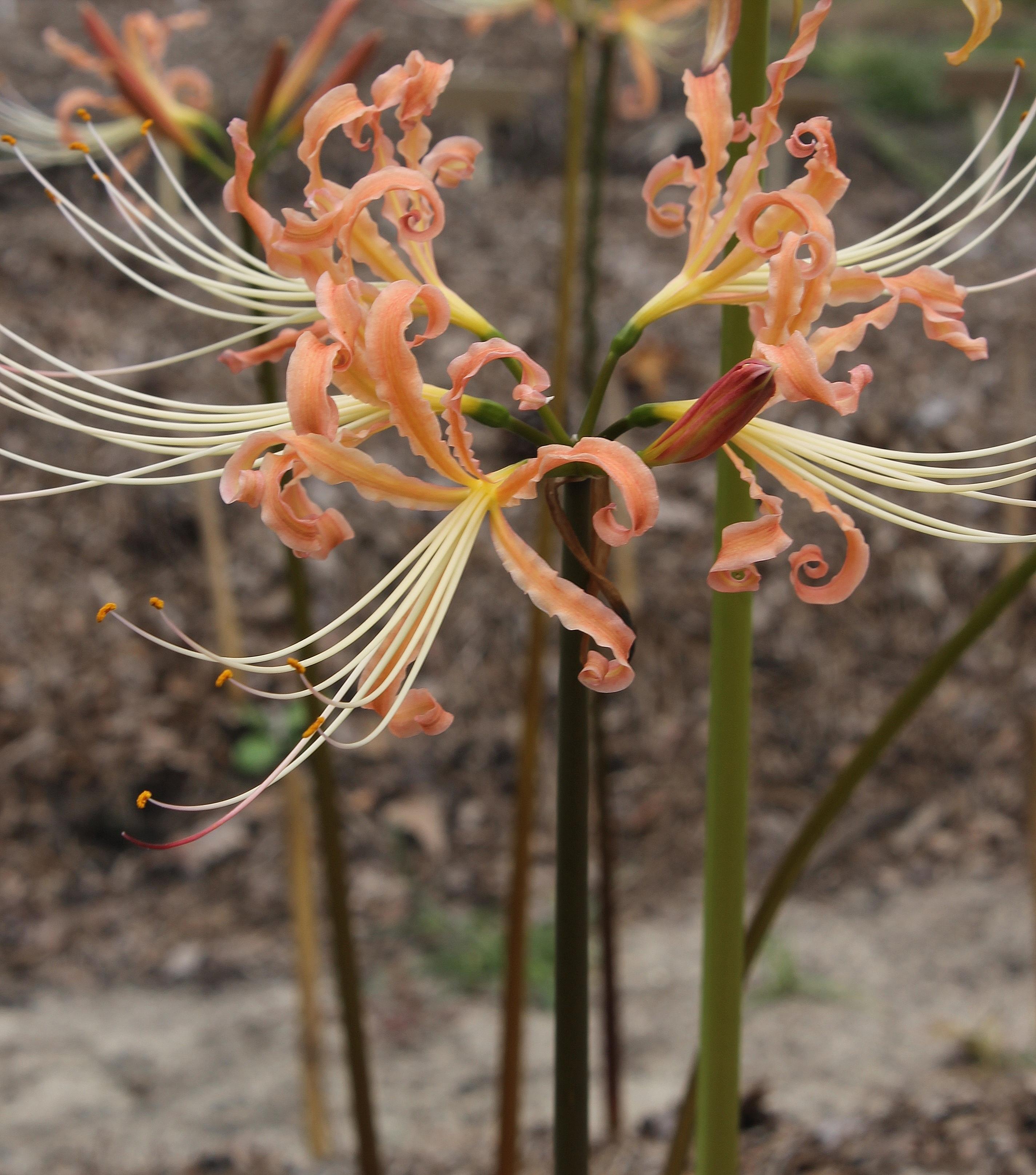Lycoris x straminea 'Peaches and Cream' @ JLBG - a Phil Adams hybrid of Lycoris radiata var. pumila x chinensis, named by JLBG/PDN