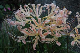 Lycoris x straminea 'Peachy Keen'