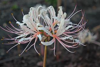 Lycoris x straminea 'Strawberry Lemonade'