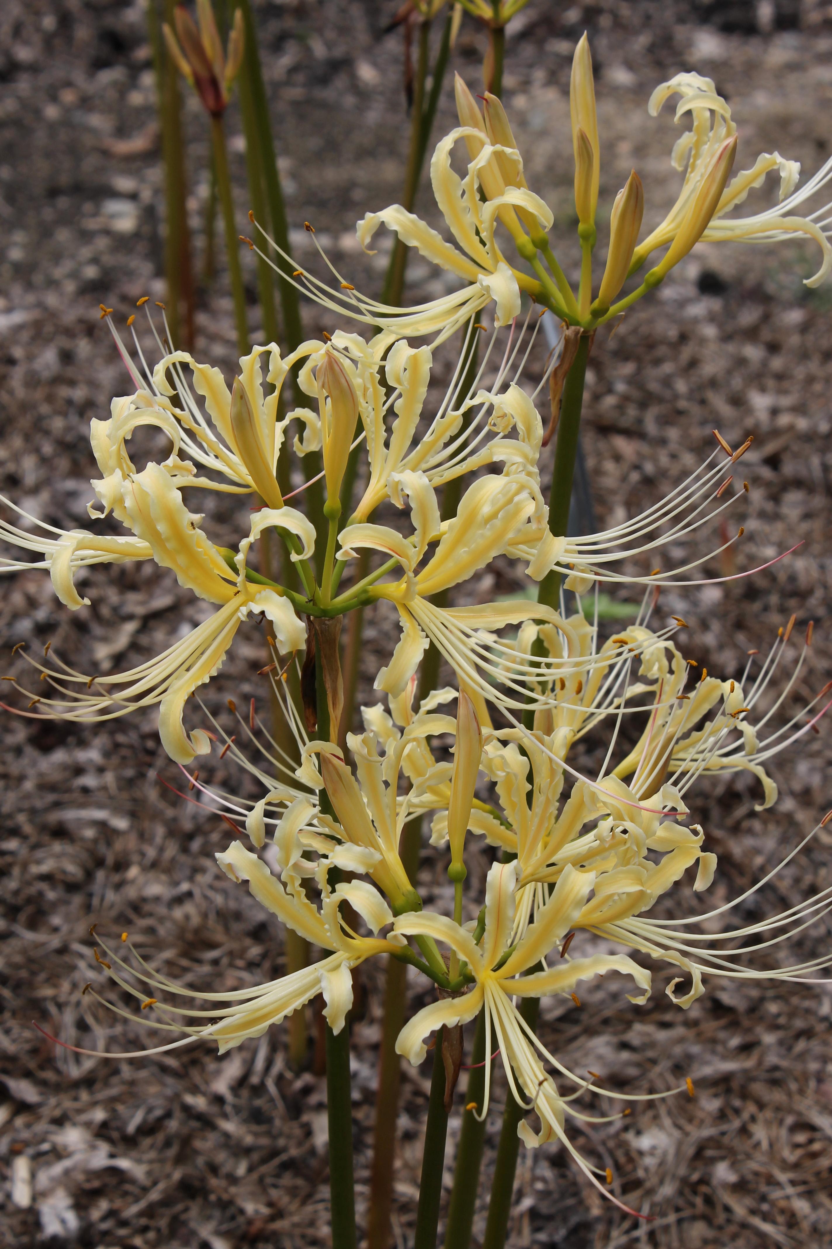 Lycoris x straminea 'Tie a Yellow Ribbon' @ JLBG - a PDN/JLBG selection of a hybrid of Lycoris radiata var. pumila x chinensis from a Chinese Nursery bulb import