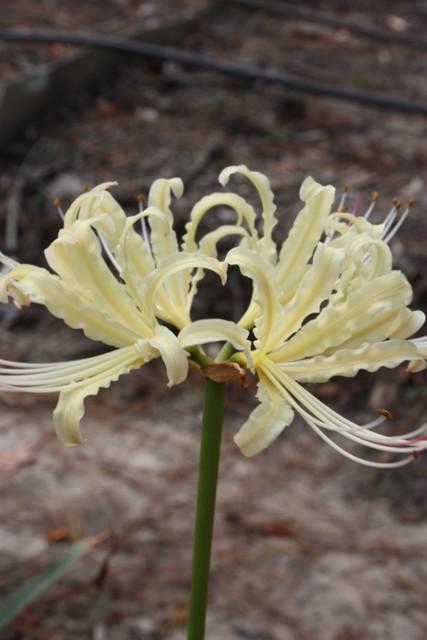 Lycoris x albiflora 'Moonbeam' @ JLBG - a Satowshi Miya hybrid of Lycoris aurea x radiata, named by Miwa