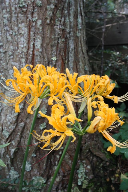 Lycoris aurea PDN002 @ JLBG - A Chinese Nursery accession from Hubei, China - flowers late August in NC