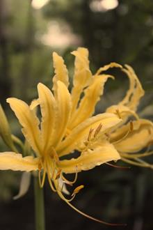 Lycoris chinensis PDN005