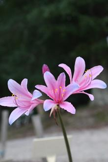 Lycoris sprengeri PDN003