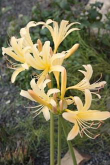 Lycoris x caldwellii 'Sky over Sky'