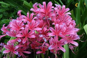 Lycoris x rosea 'Neon Nights'