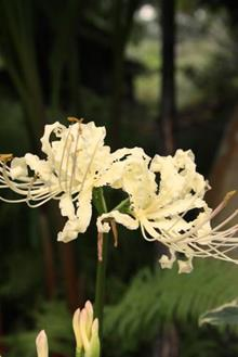 Lycoris x straminea 'Cream Frilling'